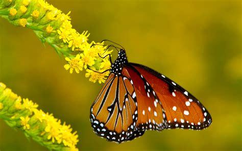 imagenes mariposas naturaleza hermosas mariposas en la naturaleza fotos e im 225 genes en