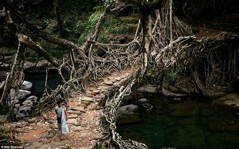 what is root bridge meghalaya villagers create living bridges by training