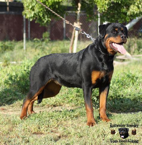 3 month rottweiler rottweiler puppy 3 months photo