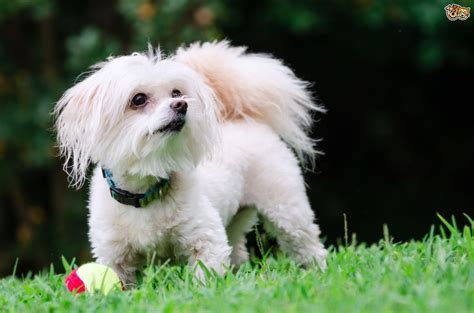 puppy personality temperament and traits of the maltipoo puppy pets4homes