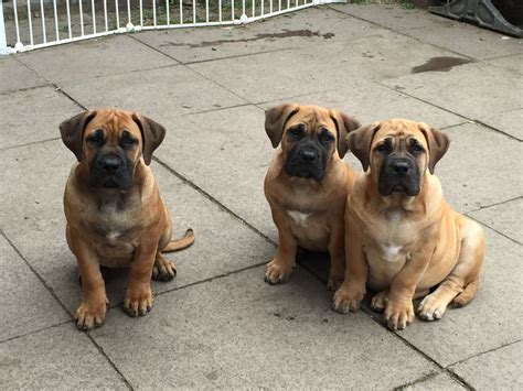 sweet puppies last 3 sweet puppies for sale wigan greater manchester pets4homes