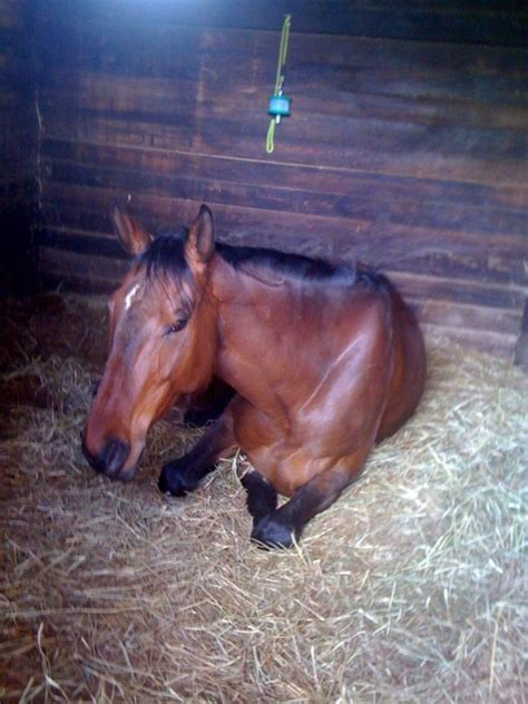 horses sleep power naps expert    english