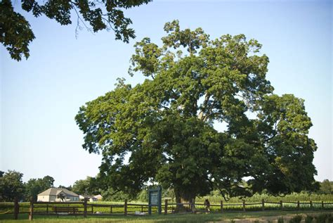 maple tree history oldest sugar maple is entwined in canada s history the