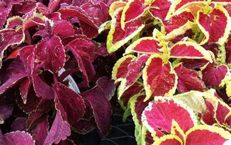 perfect companion plants  hostas shade perennials