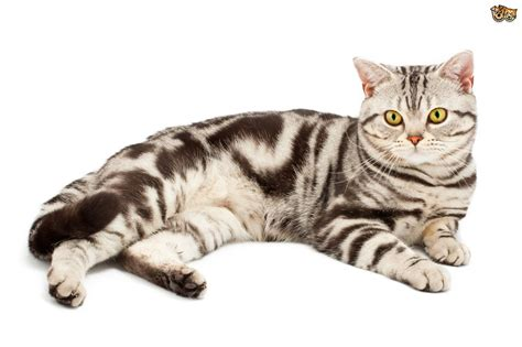 the difference between a british and american shorthair