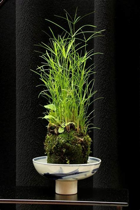 bambus le 297 best images about kokedama the japanese moss