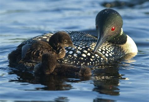 loon leads the flock to become national bird toronto star