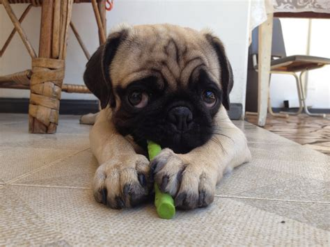 real pug mrs meggins really puppy pictures