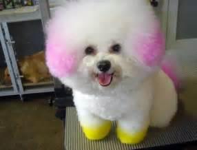 bichon poo haircuts s 252 s k 246 peği 167671 uludağ s 246 zl 252 k galeri