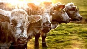 Cowhide Football Cow Wallpaper Hd Pixelstalk Net
