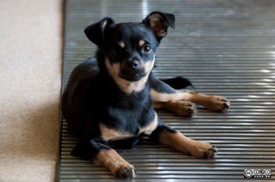 rottweiler and chihuahua mix pics for gt chiwawa mixed with rottweiler