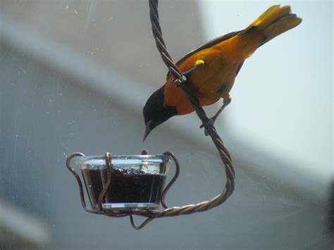 best oriole feeder ever birds pinterest