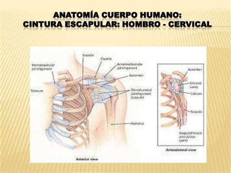 costillas del cuerpo humano cuerpo humano