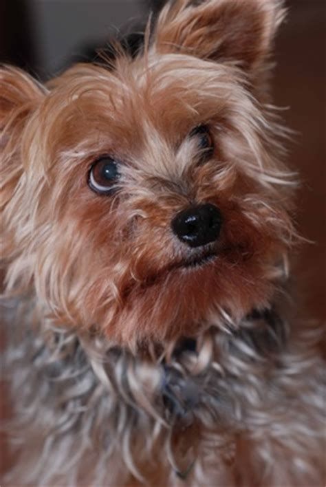 yorkie skin bumps skin disorders in yorkies pets