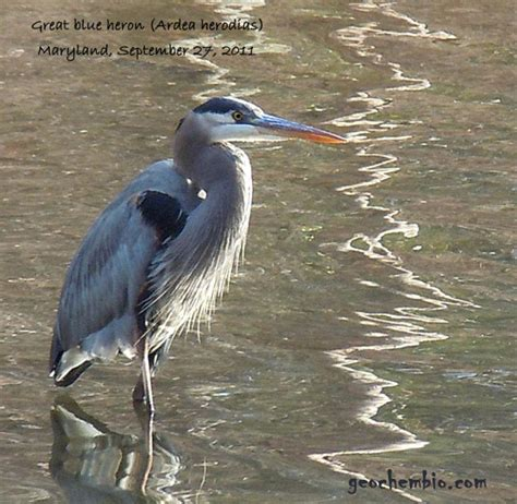 great blue heron ardea herodias brief facts taxonomy