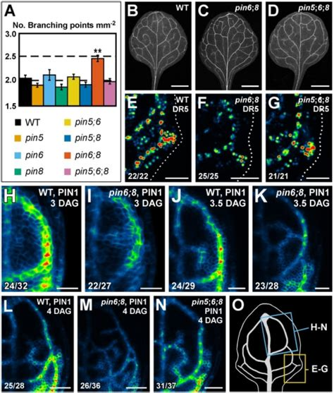 vein pattern formation pgen 1003294 g005 patterning of leaf vein networks by