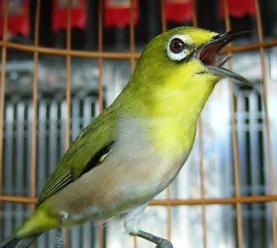 om hoby mengenal burung pleci