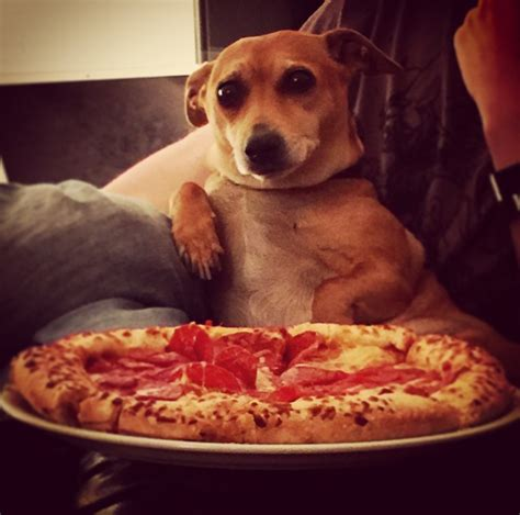 can dogs eat pizza these 40 cats and dogs really want to eat your pizza