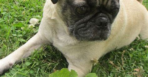 pugs and heat 10 ways to help your dogs beat the heat great ideas for pugs and other dogs that