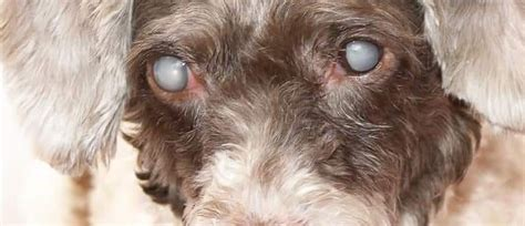 cataracts in dogs cataracts in dogs causes signs and treatment dr elliot pet insurance u