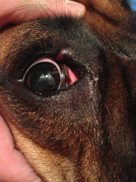 how many eyelids do dogs swollen eyelid www imgkid the image kid has it