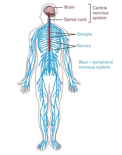diagram of central and peripheral nervous system nervous system overview