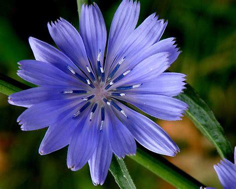 assunzione fiori di bach chicory floridinamica