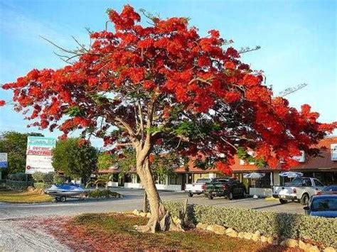 most beautiful trees world s loveliest and most beautiful flowering ornamental trees earth s