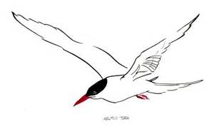 How To Draw An Arctic Tern Bird Sketch Coloring Page sketch template