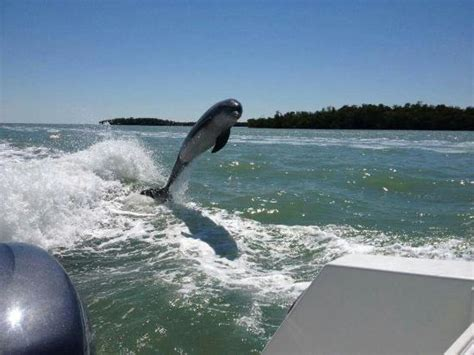 dolphin boat rental marco island dolphins love jumping behind wake picture of southwest