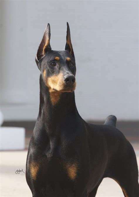 doberman dogs 17 best images about dobermans 3 beautiful large breeds and end