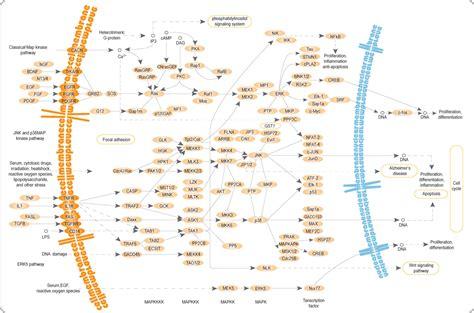 MAPK/ERK pathway   Wikipedia