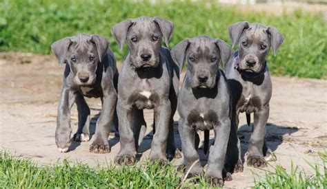 tips for raising a puppy seven special tips for raising great dane puppies