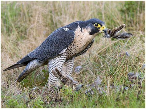 falco pellegrino alimentazione falco pellegrino benvenuti su uccellideuropa