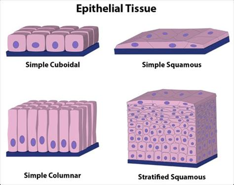 tissue diagram quot epithelial tissue is composed of tightly connected cells