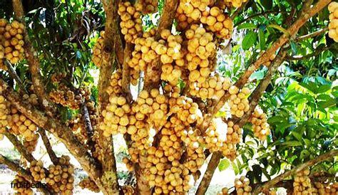 Bibit Pohon Duku Palembang langsat langsat unggul tanahair bebeja