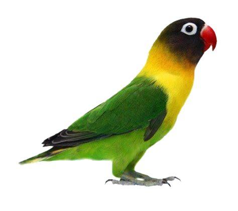 gambar png gambar burung love bird