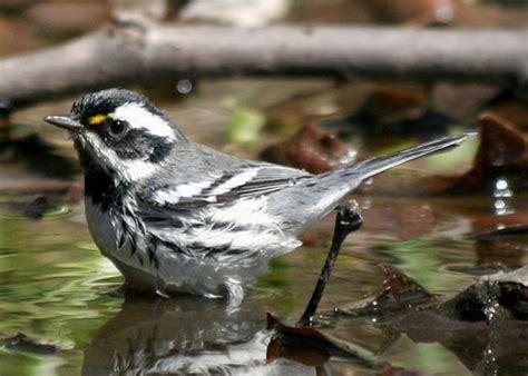 black throated gray warbler dendroica nigrescens