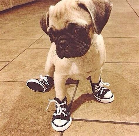 pug boots for dogs the 14 most pug pictures