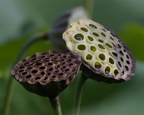 lotus pod photoshop can anyone tell me what is in thise pic ask