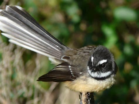 Fantail | Brook Waimarama Sanctuary Invertebrates Animals Names