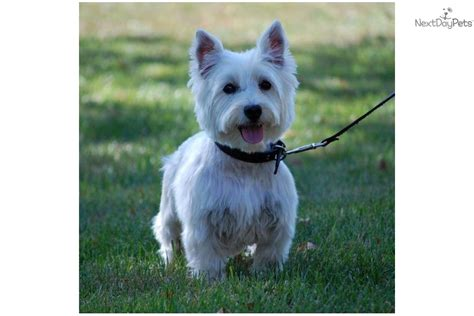 westie puppies mn meet rosey a west highland white terrier westie puppy for sale for 650 akc