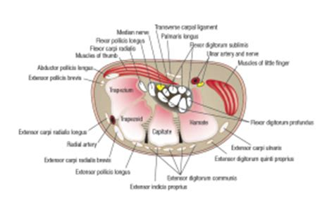 carpal tunnel cross section cross section through carpal tunnel anatomy synovium
