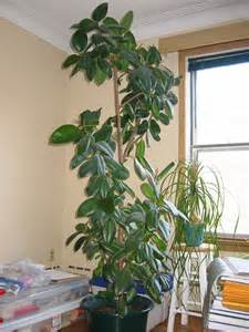pruning a rubber tree plant how to trim a rubber tree plant