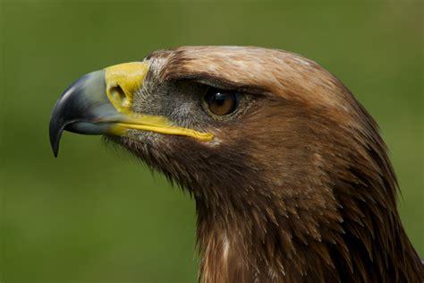 Golden Eagle Head   www.pixshark.com - Images Galleries ...