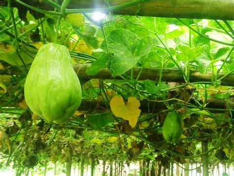 Agribisnis Labu Siam berkebun sayuran di atas batang pisang usaha agribisnis