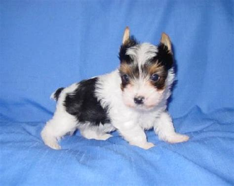 parti color yorkies for sale yorkie breeders parti yorkies color puppies for sale akc puppies