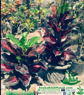 Jual Bibit Of Irian jual koleksi tanaman puring murah aneka bibit murah