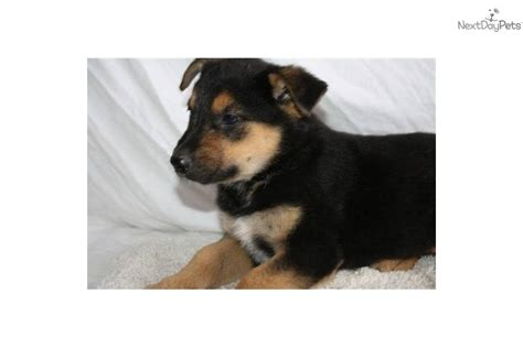 blue heeler german shepherd mix puppy blue heeler mixed with german shepherd breeds picture