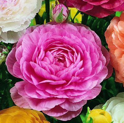 blütezeit ranunkel ranunkeln rosenbl 252 tig 5 6 3x10 zwiebel gartenxxl